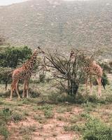 giraffer nära träd