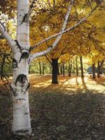 vitbarkträd i höstskogen