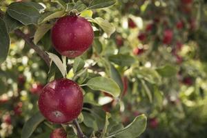 närbild av röda äppelträd