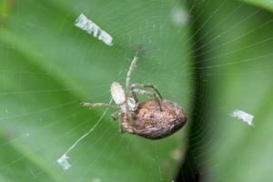 spindel som lägger ägg, makro foto