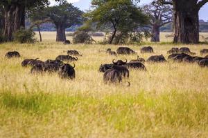 cape bufflar i tanzania foto