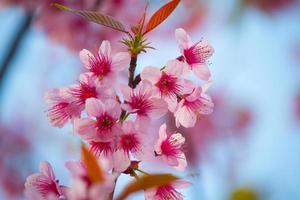 vacker körsbärsblomning