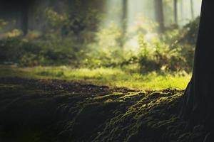 tidigt på morgonen ljus i skogen foto