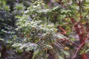 barrträdgren med nålar och frukter
