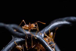 röda myror eller oecophylla smaragdina foto