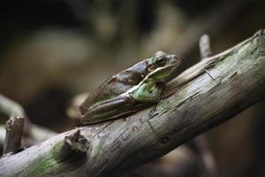 amerikansk grön trädgroda (hyla cinerea). foto