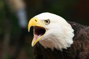 amerikansk skallig örn foto