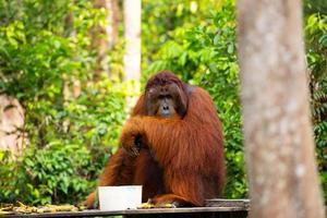 orangutang i Borneo Indonesien. foto