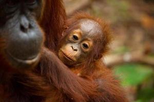bedårande baby orangutang. foto