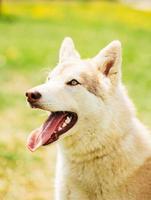 vit vuxen siberian husky hund (sibirsky husky) foto
