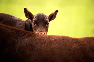 ankole longhorn kalv foto