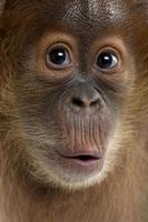 närbild på en baby sumatran orangutan foto