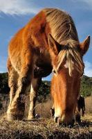 hästbetande - caballo pastando foto