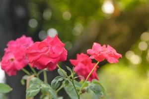 röda rosor i en solig trädgård