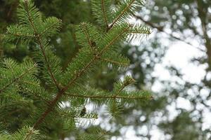 gröna nålar av ett tall. foto
