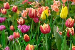 vackra tulpaner i en trädgård foto