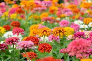 vackra zinnia blommor i en trädgård foto
