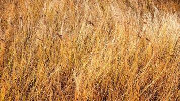 gyllene vete fält foto