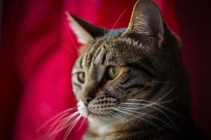närbild av en tabby katt.