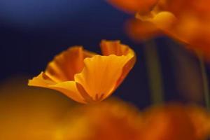 drömmande gul vallmo i vårmakro foto
