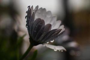 blomma i regn foto