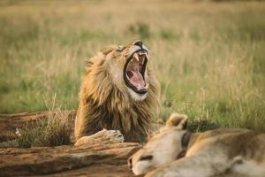 lejon som brusar medan han ligger i gräset foto