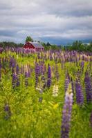 lupinfält med ladugård foto