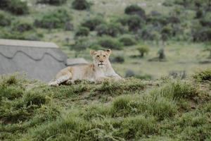 Sydafrika, 2020 - lejoninna liggande på gräsbevuxen kulle foto