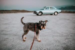 Kapstaden, Sydafrika, 2020 - Terrierhund framför klassisk bil foto