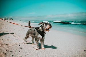 Kapstaden, Sydafrika, 2020 - grå och vit terrier på stranden foto