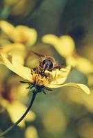 närbild av bi på gul blomma