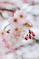 tittar upp på körsbärsblommor