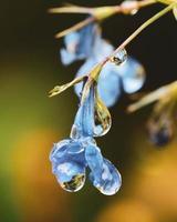 närbild av blå blommor med regndroppar på dem