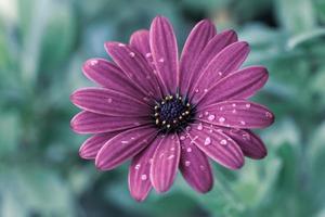 närbild av lila tusenskönablomma