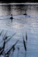 två svanar på vattnet på natten foto