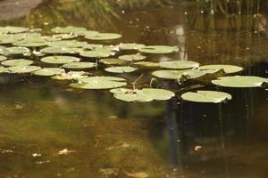 lilypads i vattnet foto