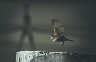 sparven tar flyg foto