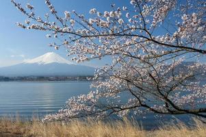 körsbärsblom på mtfuji foto