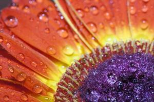 barberton daisy (gerbera jamesonii) foto
