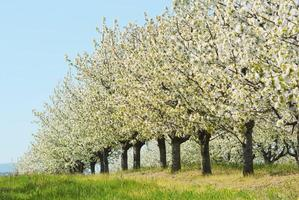 körsbärsträd blommar foto