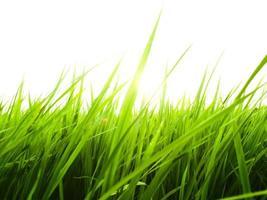 närbild av risblad