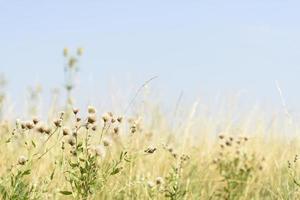 maskros och gräs bakgrund