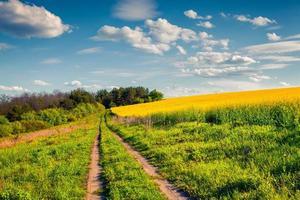 solig sommarmorgon i fältet av blommande raps