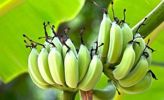 närbild av en bananväxt