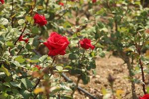 röda rosor under dagen