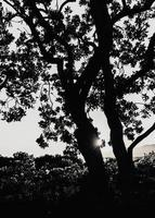 silhuett av ett träd vid solnedgången