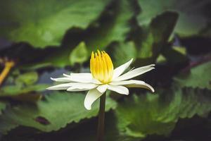 vit lotusblomma foto