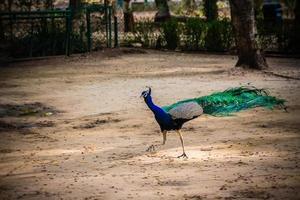 blå och grön påfågel nära träd