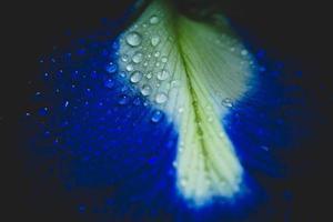 närbild av ett blått och vitt kronblad