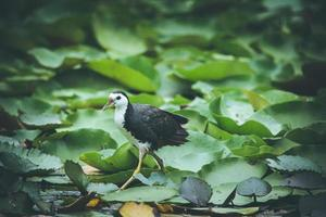 fågel som går på liljkuddar